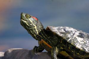 Austin Aquarium Red-eared-slider-main