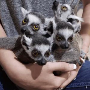 Best things to do in Austin Texas Lemur Encounter Austin Aquarium