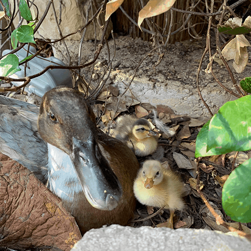 Baby Ducks Spring at Austin Aquarium best things to do with kids Austin Texas